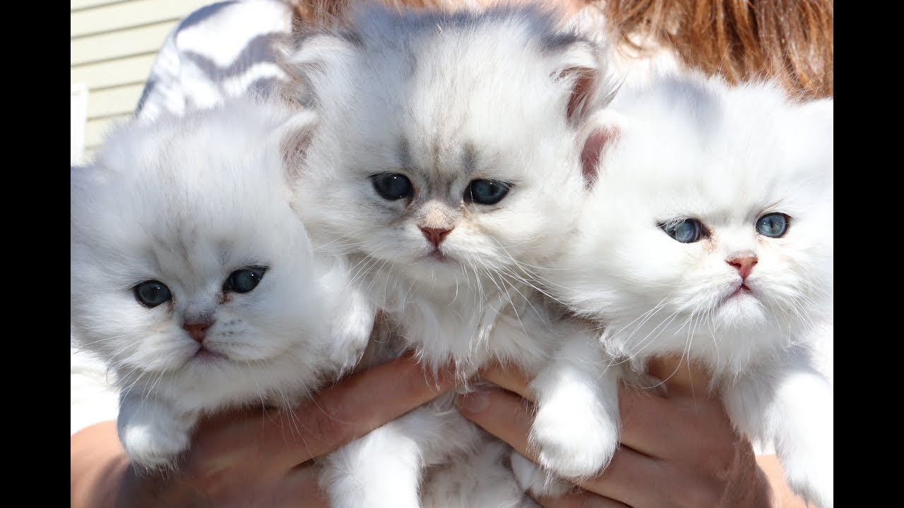 Shaded Silver Persian Kittens - First 5 Weeks