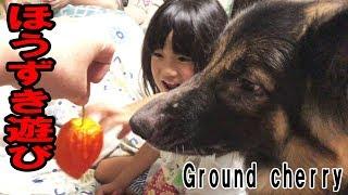 grandchild and German Shepherd dog 大型犬ジャーマンシェパード犬マッ...