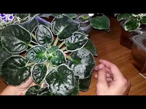 Как добиться блеска листьев фиалок.