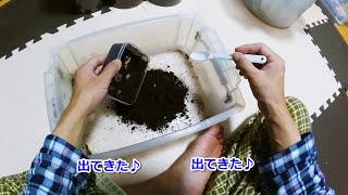 ヘラクレスオオカブト 幼虫、単独飼育へ【カブPのヘラクレス飼育日記】h...
