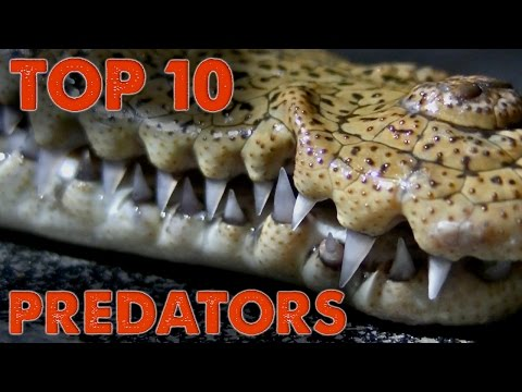 Top 10 Predators of North America!