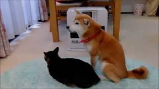 柴犬いちご(12才女子)猫ミルキー(3才男子)のファンヒーター前でのひ...