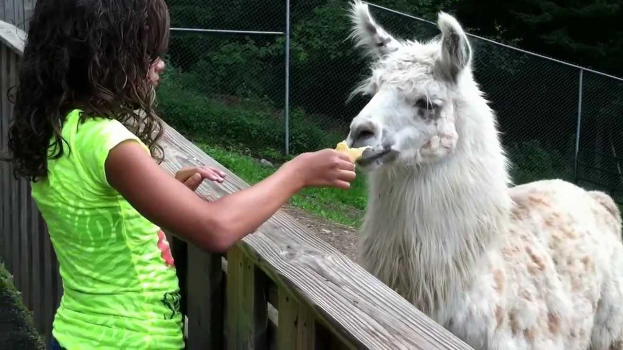 Spitting Llama wants i...