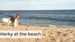 Herky at the beach | Hamptons, NY |Main Beach |Cavalier King Charles Spaniel Dog Puppy