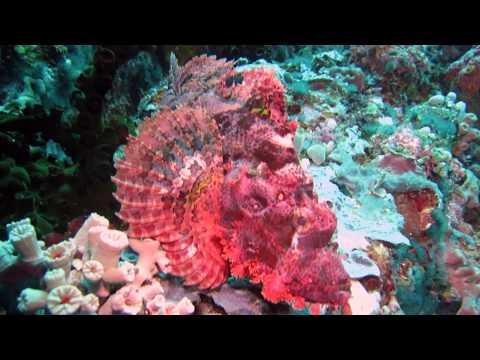 Scorpion Fish (Scorpaenidae)