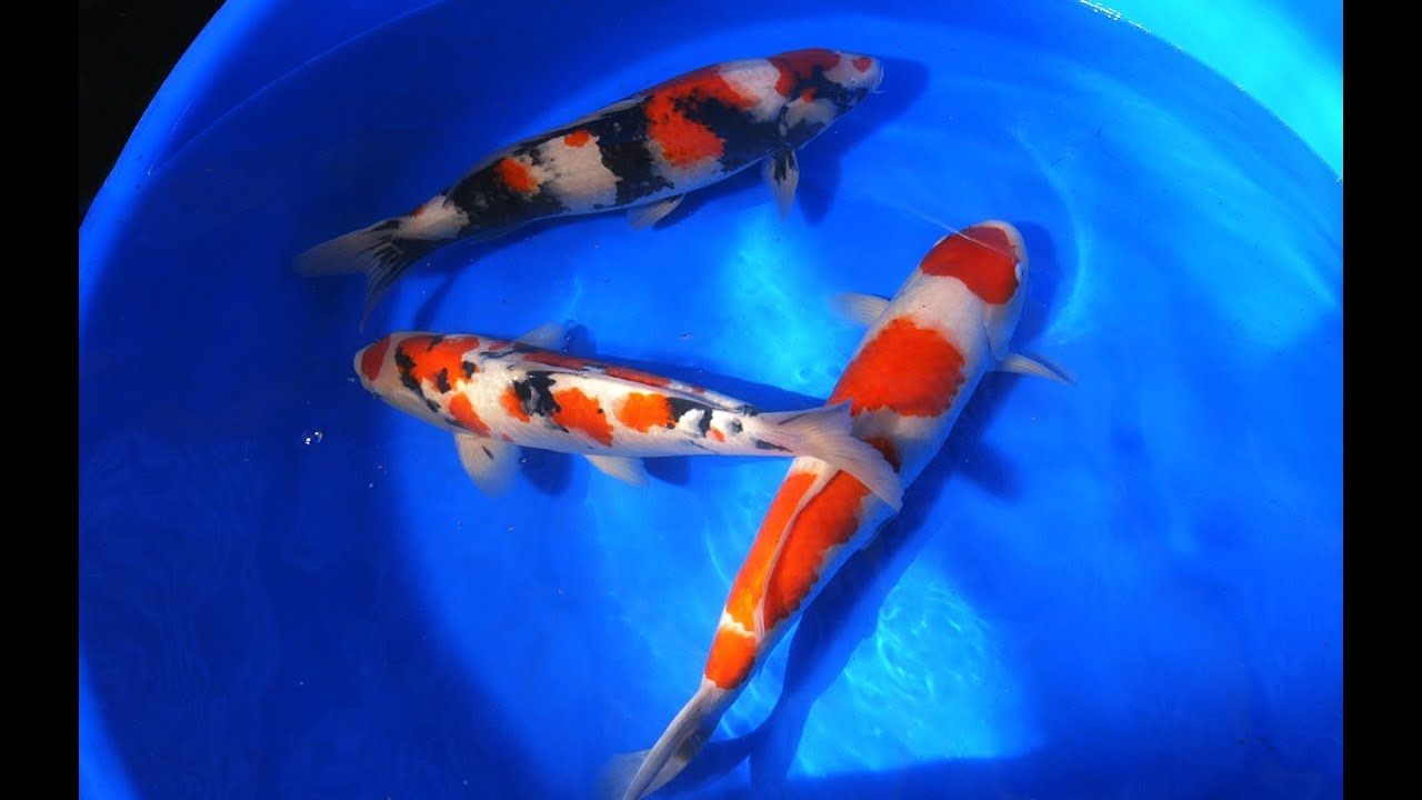 Koi fish selection 3 jumbo kohaku showa sanke koi for Koi kohaku japanese