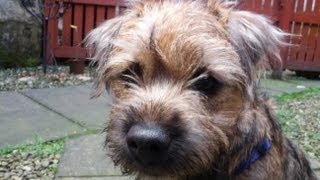Ted The Border Terrier Puppy On The Frost