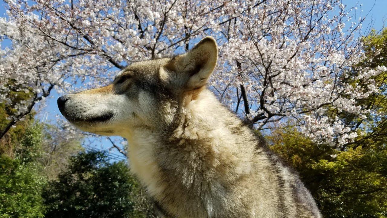 狼犬&ロットワイラー お花見カフェ - YouTube