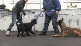 Воспитание собак, превентивная работа на торможение внутривидовой агрессии