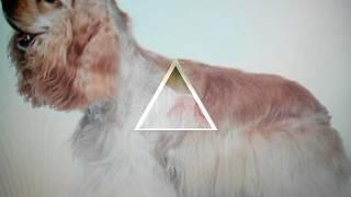все породы собак (часть 2 )  кокер спаниель