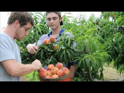 *'Georgia Belle' Peach Trees* +Eat Juicy Peaches 1st Year+