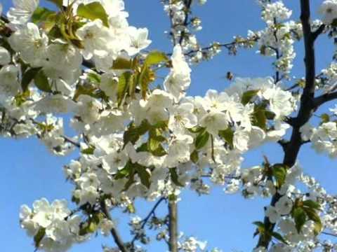Doina Sulac - Floarea Dorului