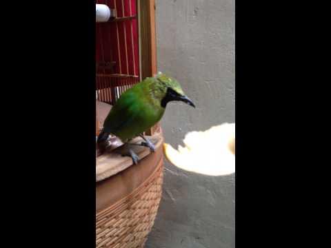 Chim hoả tiễn thuần