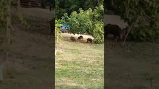 Termoli: branco di cinghiali in via Mincio