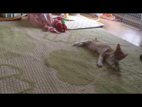 睡魔に負けそうで負けない猫らら A cat who seems to be defeated by sleepiness and can not lose