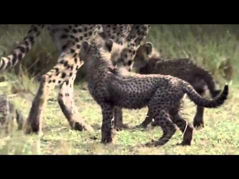 "The Wonderful Cheetah - ""Now We Are Free"" (Enya Instrumental)"