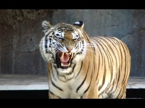 Awesome tiger roar roma bioparco tigre big cat sound