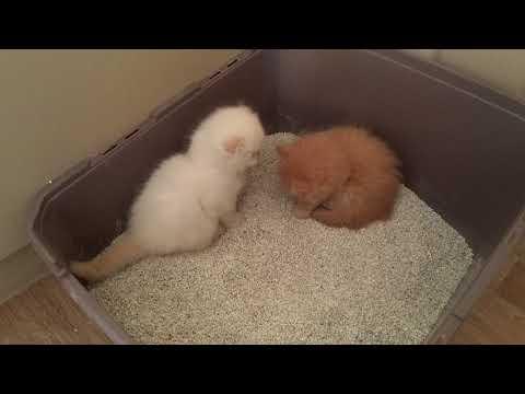 Yavru kedilere kum eğitimi (evde kedi bakımı)