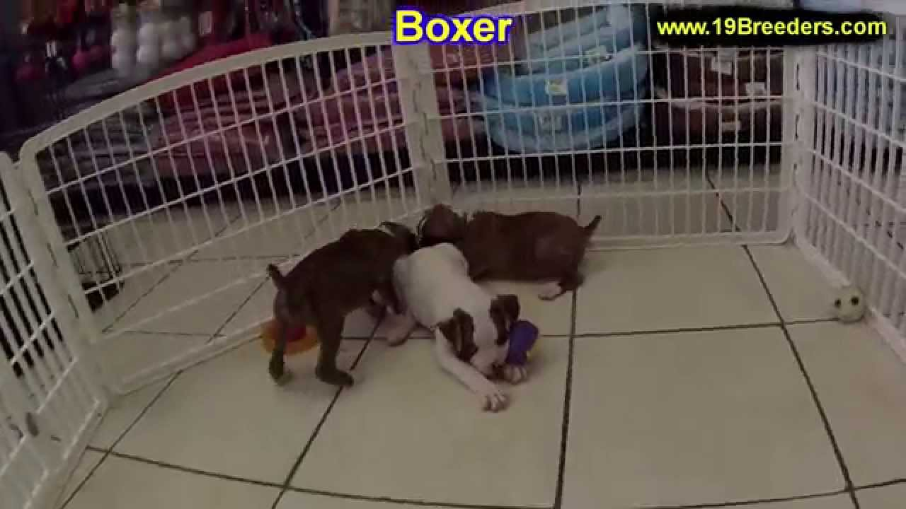 Boxer Puppies For Sale In Indianapolis Indiana IN