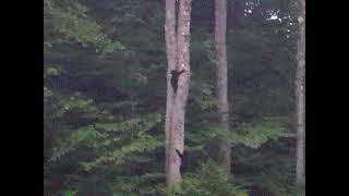 Mama Bear and 3 Baby Bears up the tree ❤