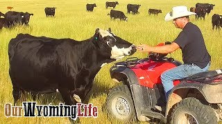 checking-on-the-cows
