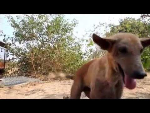 Meet Disabled Shelter-dog Tarzan at Animal Aid, India - Animals Rescued  Ep 147
