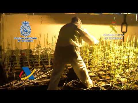 Desarticulada una banda dedicada al cultivo de marihuana para su exportación a Reino Unido
