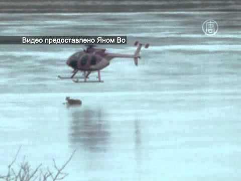 Оленя спасли, «сдув» со льда вертолетом