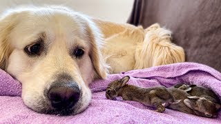 Golden Retriever and Baby Bunnies 9 days old [3 of 4 Bunnies Open Their Eyes]
