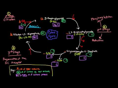 Photosynthesis (Part 3 of 3) - Dark Reactions, Calvin Cycle, Carbon Fixation