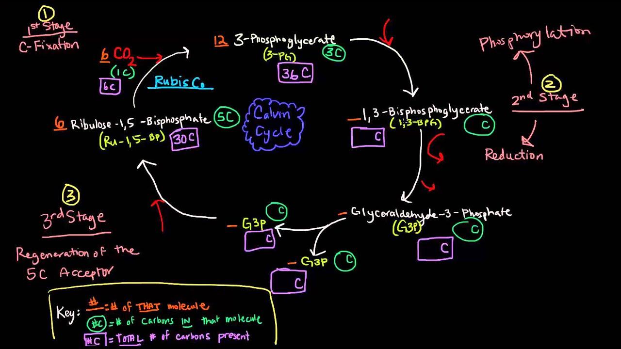 Photosynthesis Part 3 of 3  Dark Reactions Calvin