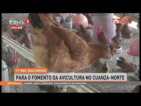 11 Mil galinhas para o fomento da avicultura no Cuanza-Norte