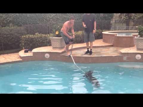 6 foot Alligator in Pool