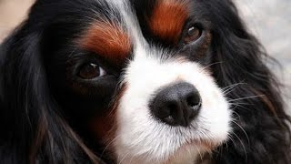 Le Cavalier king Charles et le King Charles