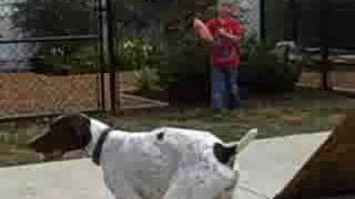 German Shorthaired Pointer For Adoption