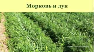 Выращивание моркови, лука, чеснока, сельдерея(http://vashe-plodorodie.ru/ Как вырастить морковь, лук, чеснок, корневой сельдерей. Запись семинара, который проходил..., 2013-03-25T19:06:01.000Z)