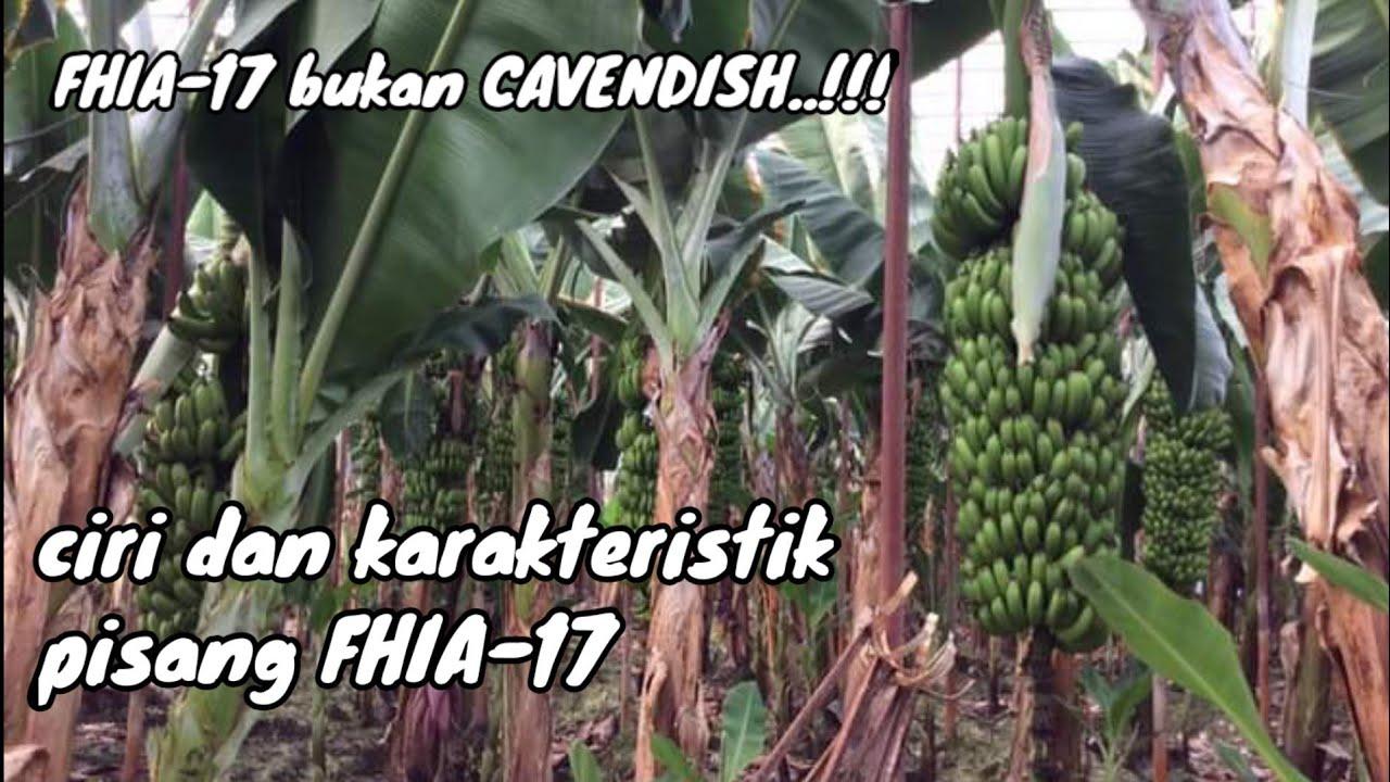Budidaya Pisang Fhia 17 Youtube