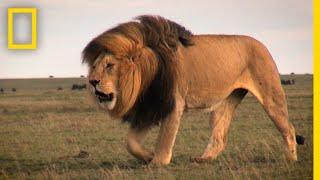 Warrior Watch: Protecting Kenya's Lions | Explorer...