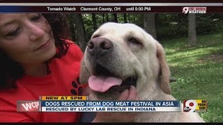 Lucky Lab Rescue Saves Dogs From Being Eaten At Dog Meat Festival In Asia