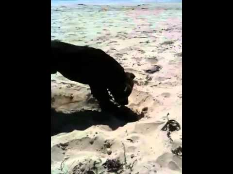 Bruce excavating the beach