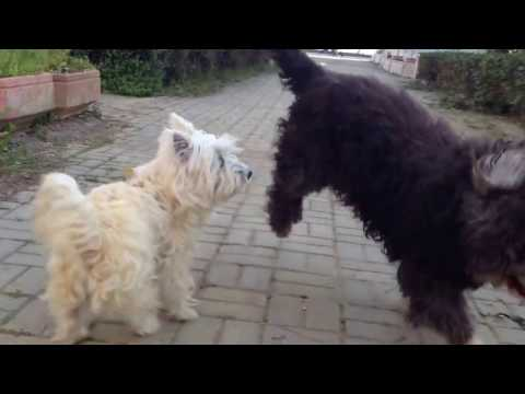 West Highland White Terrier And Old English Sheepdog Playing (Part 3)