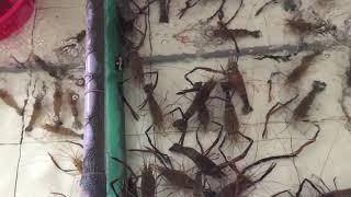 Tôm càng hải sản Việt Nam khác tôm nhậtbản khôngVietnamese shrimp are different from Japanese shrimp