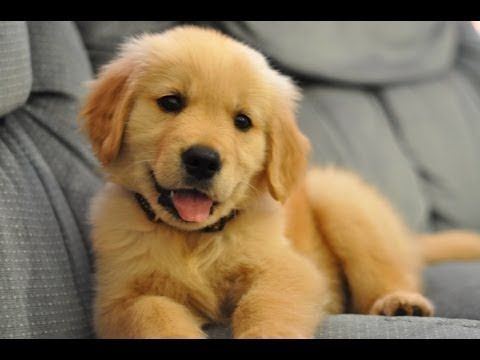 Funniest And Cutest Golden Retriever Videos 2017 – Funny Dogs Compilation