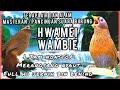 Terbaru 1 jam nonstop hwamei terapi air suara burung masteran Hwamei wambie gacor