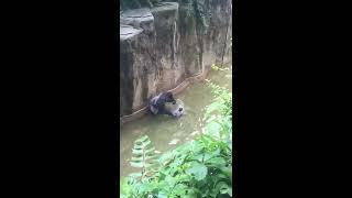 В США застрелили гориллу. Полное видео.