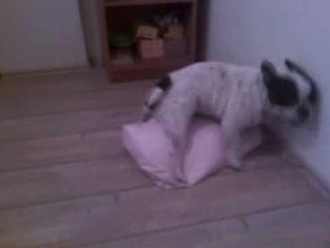 French Bulldog Sex