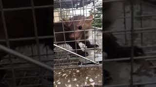 Civciv bogan sansar