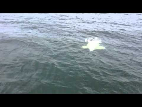 Beluga Whales In The St. Lawrence