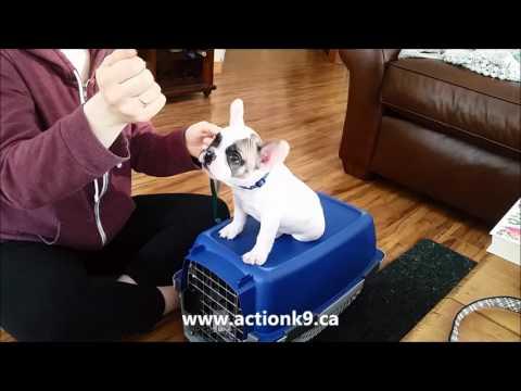 French Bulldog Obedience Training