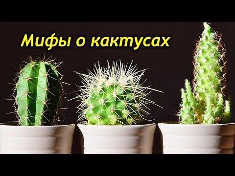 Вопрос: Правда, что кактусы выживают из дома мужчин?